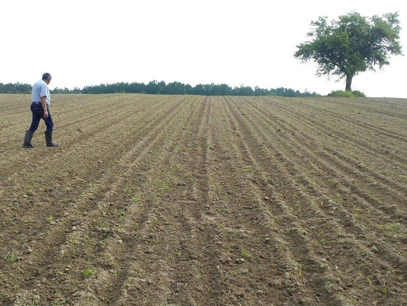 Poljoprivrednici presijavaju kukuruz pod Prosarom: Divlje svinje poharale njive
