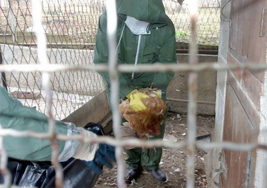 UPOZORENJE STRUČNJKA Ptičija gripa prijeti da se pojavi u BiH i regionu