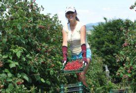 Uprkos problemima sa plasmanom voća, u BiH raste proizvodnja maline