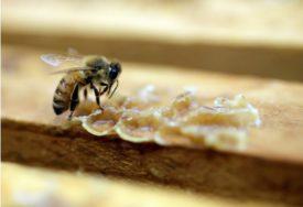 LIJEK ZA KARICNOM DOJKE U Hercegovini počinje proizvodnja pčelinjeg otrova