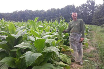 Počela berba industrijske biljke u Semberiji: Duvanari očekuju dobru zaradu