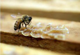 ZVUK ZUJANJA SVE TIŠI Više od pola Evrope bilježi nestašicu pčela, BiH nije među ugroženima