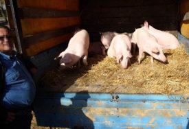 Afrička svinjska kuga u Smederevu: Tri sela proglašena zaraženim područjem