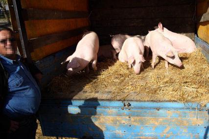 PREVOŽENE U PRIKOLICI U saobraćajki kod Smedereva nastradale svinje