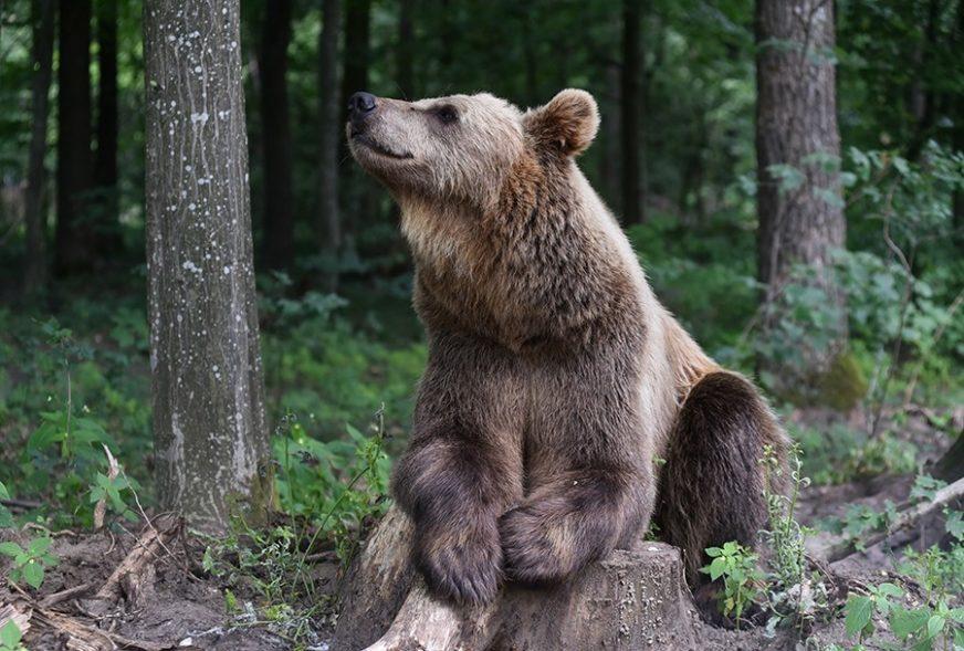 MJEŠTANI PRESTRAVLJENI Uspavali medvjeda koji je POJEO KOZU, pa upao u praznu školu
