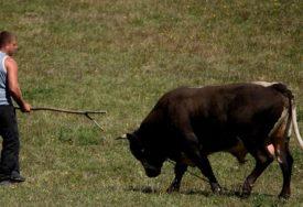 DOMAĆIN U ŠOKU Iz obora nestao bik od 400 kilograma, a onda je Slaviša naišao na jeziv prizor