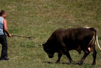 Nisu uspjeli da ga obuzdaju: Policija upucala odbjeglog bika