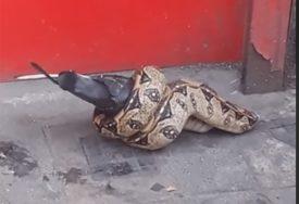 NEVIĐEN PRIZOR U sred Londona snimljen piton kako jede goluba (VIDEO)