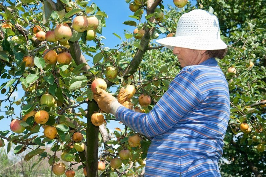 APSURD Inženjeri beru jabuke, dokoni sjede, a voćari se HVATAJU ZA GLAVU