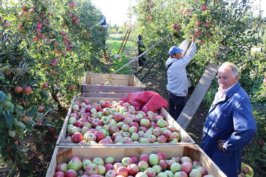 VOĆARI TRLJAJU RUKE Ruski šleperi čekaju jabuke i kruške, a evo koliko će ZARADITI BERAČI