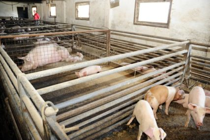 Veterinari na terenu, pregledali oko 8.000 životinja: Afrička kuga svinja u selima oko Paraćina