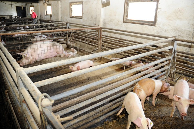NE POSTOJI VAKCINA Afrička kuga se pojavila kod domaćih svinja u Negotini