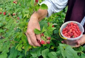 U PAKOVANJU MALINA BILA ŽIVOTINJA Kupac u ambalaži među voćem našao živog guštera