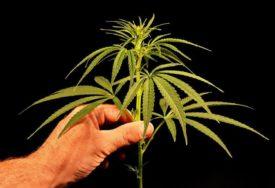 IZA REŠETAKA ZBOG DROGE Policija zaplijenila 374 kilograma marihuane i uhapsila jednu osobu