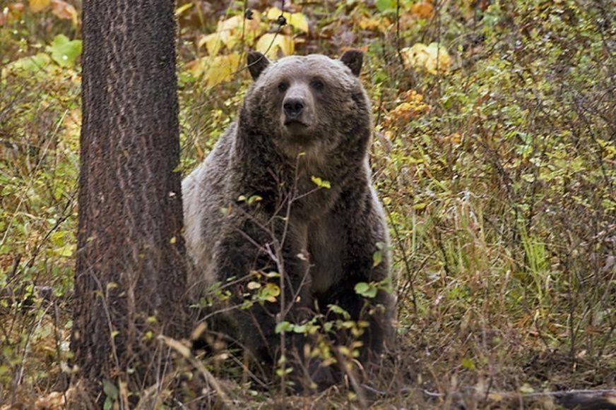 Medvjed je našao i pojeo 40 KILOGRAMA KOKAINA, njegova smrt dovela je do RAZBIJANJA LANCA NARKOMAFIJE