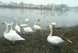 Na snazi preventivne mjere: U Hrvatskoj potvrđen ptičiji grip kod uginulog labuda