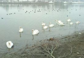NIKO NE ZNA ZAŠTO, ALI MLADUNČAD UMIRU Zabrinjavajući pomor labudova i ribe u rijeci