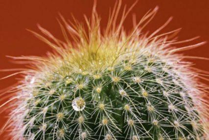 Sve zavisi od vrste koju imate: Evo kako se ljeti njeguje kaktus