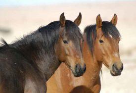 BUKTINJA PROGUTALA ŠTALU Devetnaest izložbenih konja stradalo u POŽARU