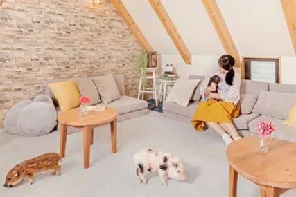 SAMO U JAPANU U Tokiju otvoren prvi kafić u kojem se gosti DRUŽE SA SVINJAMA