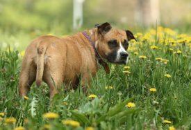 NA SVE NAČINE PROTIV VIRUSA Psi otkrivaju zaražene koronom
