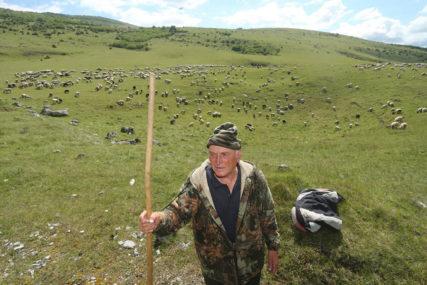 IMA STADO SA 1.500 OVACA Slavko sa Manjače kaže da se njegovo blago ne može izmjeriti parama (FOTO)