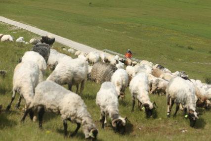 KRVAVI PIR U TORU Psi lutalice preklali stado ovaca, vlasnica zatekla JEZIV PRIZOR