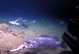 NEVJEROVATAN PRIZOR Riba u jednom zalogaju progutala morskog psa (VIDEO)