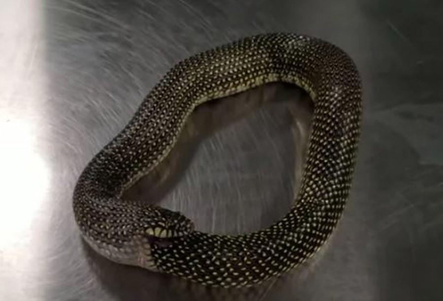 GUTA SAMU SEBE Ova zmija PROŽDIRE sve što joj se nađe na putu (VIDEO)