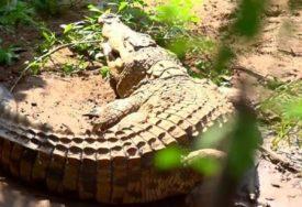 NIKO NE ZNA KAKO SE POJAVIO Fotografija krokodila sa Visa kruži društvenim mrežama (FOTO)
