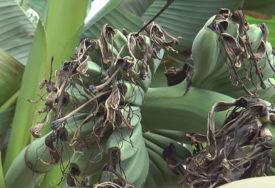 BANANE NAPALA OPASNA GLJIVICA Hoće li panamska bolest uništiti plantaže