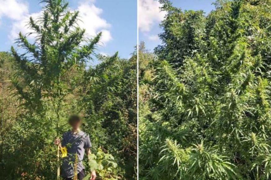 NOVI REKORD Policija pronašla najvišu stabljiku marihuane u BiH