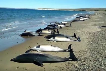 MISTERIJA I ZA NAUČNIKE Više od 130 delfina nasukalo se na plažu, zatim i 26 kitova (VIDEO)