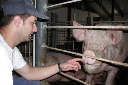 U buktinji uništeni obori: Požar na farmi, uginulo 55.000 svinja