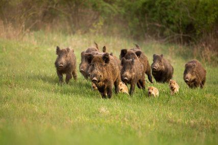 NOVE METODE Dovitljivi poljoprivrednici NARODNOM MUZIKOM brane njive od divljih svinja