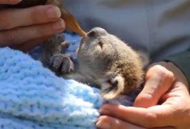 UDOMILI JE KAKO BI JE SPASLI Beba koala osvojila srca širom svijeta (VIDEO)