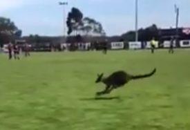 BIZARNO Kod nas utakmice prekidaju mačke, psi ili golubovi, a evo ko ih u Australiji remeti (VIDEO)