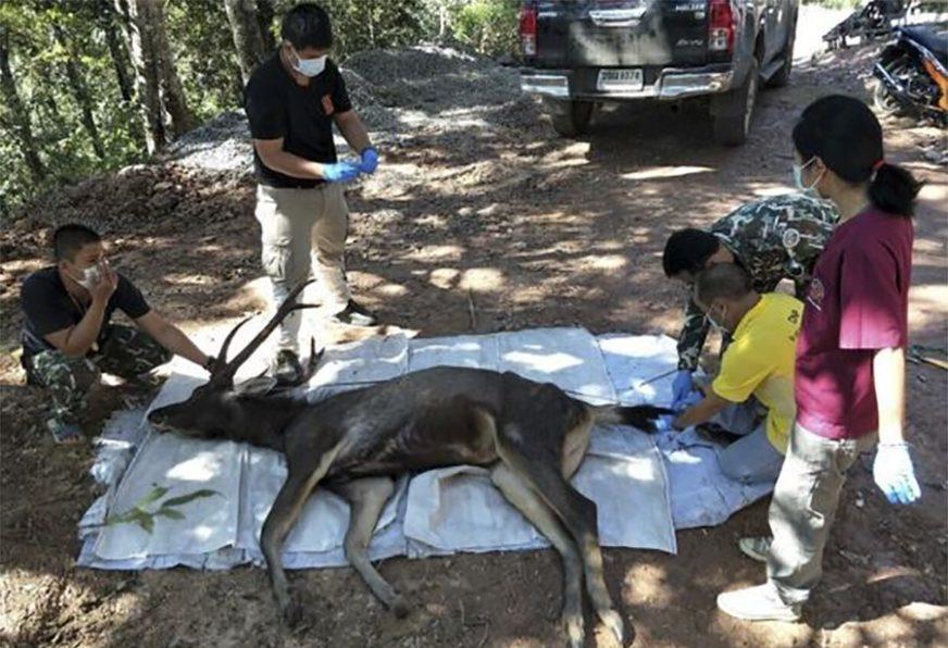 JEZIVO Pronašli su mrtvog jelena, a kada su ga otvorili, uslijedio je ŠOK (FOTO)