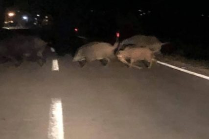 STIGLE NADOMAK CENTRA Divlje svinje prošetale Sanskim Mostom