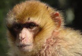 HOROR Majmun KAMENOM UBIO četvoromjesečnu bebu