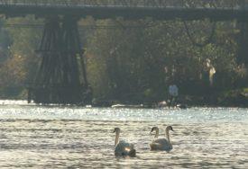 PRIZOR OD KOJEG ZASTAJE DAH I labudovi uživaju u sunčanom danu na Vrbasu (FOTO)