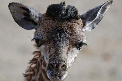 NAPRAVILE KOLAPS U SAOBRAĆAJU Žirafe pobjegle iz kamiona koji ih je vozio u ZOO vrt (FOTO)