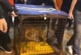 ŠOKANTAN SNIMAK IZ ULCINJA Preplašena životinja u kavezu se grčila dok je puna sala navijala (VIDEO)