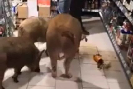 NE PIJU NA PRAZAN ŽELUDAC Tri svinje u Rusiji slistile flašu konjaka (VIDEO)
