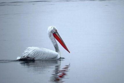 ZATVOREN PARK Uginuli pelikani pozitivni na virus ptičijeg gripa