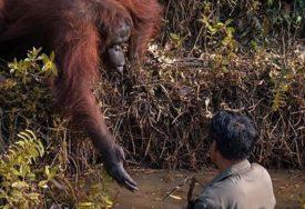 DIRLJIV PRIZOR Orangutan pružio ruku kako bi pomogao čovjeku u rijeci (FOTO)
