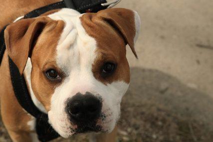 Vlasnica mirno sjedila u kafiću: Mješanac pit bula preklao drugog psa, od zadobijenih povreda preminuo kod veterinara