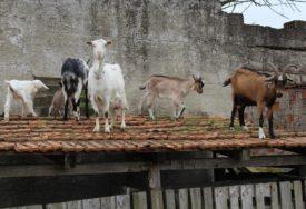 KOZE NA KROVU, JARIĆI NA PROZORU Nesvakidašnje navike životinja Asima Tadžića iz Potkozarja
