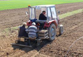 SIJU KROMPIR ZA SRPSKU Povrtari rade udarnički na njivama u Lijevče polju