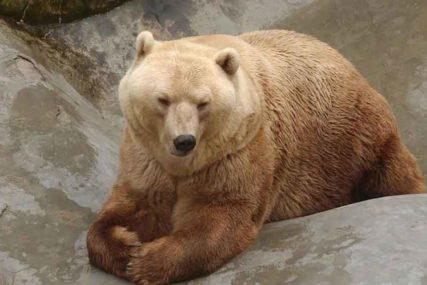 Nesvakidašnji incident u Japanu: Medvjed ubijen nakon što je upao u vazduhoplovnu bazu